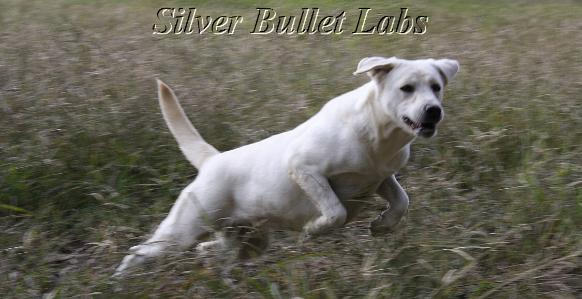 white labrador retrievers