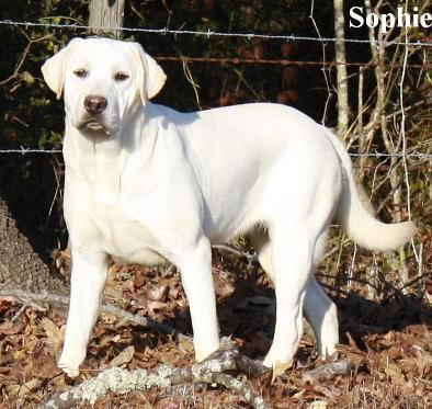 white labs for sale