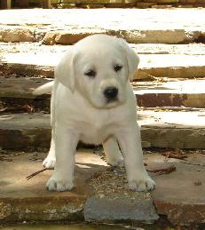 white lab puppies