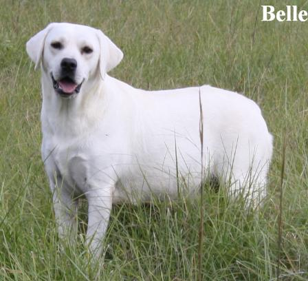 White  Puppies on Puppies For Sale Available White Lab Female Puppy White Labrador